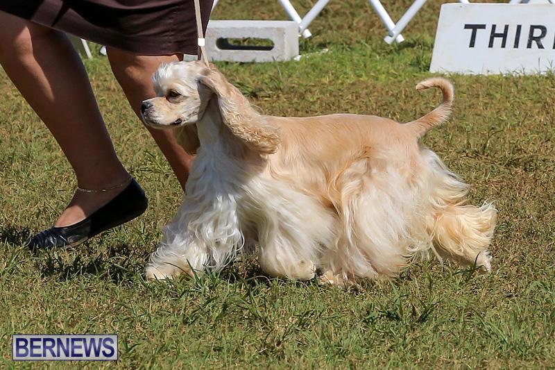 Bermuda-Kennel-Club-Dog-Show-October-23-2016-72
