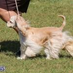 Bermuda Kennel Club Dog Show, October 23 2016-74
