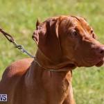 Bermuda Kennel Club Dog Show, October 23 2016-86