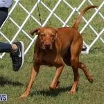 Bermuda Kennel Club Dog Show, October 23 2016-91