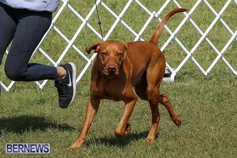 Bermuda-Kennel-Club-Dog-Show-October-23-2016-91