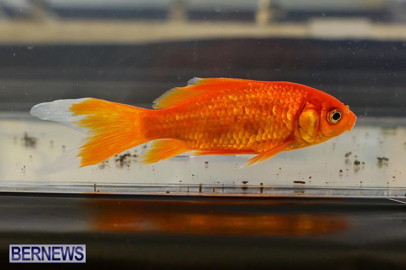 Bermuda-Fry-Angle-Aquarium-Society-Annual-Tropical-Fish-Show-November-5-2016-10