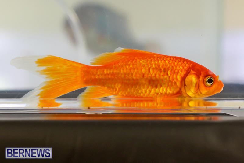Bermuda-Fry-Angle-Aquarium-Society-Annual-Tropical-Fish-Show-November-5-2016-11