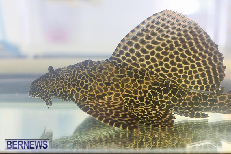 Bermuda-Fry-Angle-Aquarium-Society-Annual-Tropical-Fish-Show-November-5-2016-16