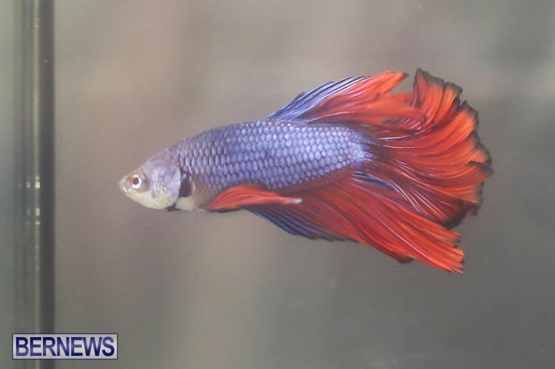 Bermuda-Fry-Angle-Aquarium-Society-Annual-Tropical-Fish-Show-November-5-2016-19