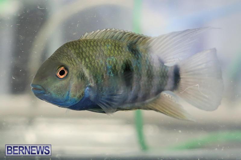 Bermuda-Fry-Angle-Aquarium-Society-Annual-Tropical-Fish-Show-November-5-2016-26
