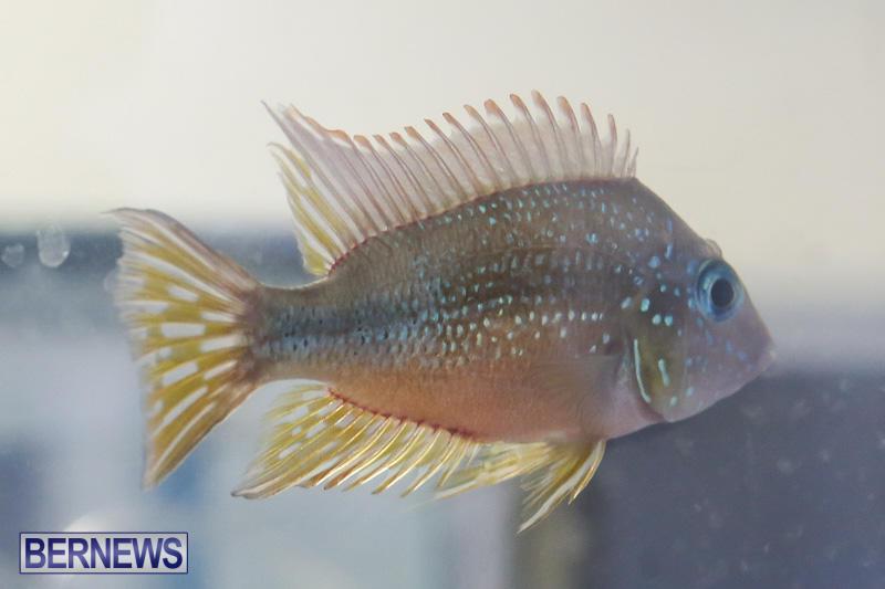 Bermuda-Fry-Angle-Aquarium-Society-Annual-Tropical-Fish-Show-November-5-2016-28