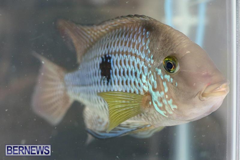Bermuda-Fry-Angle-Aquarium-Society-Annual-Tropical-Fish-Show-November-5-2016-30