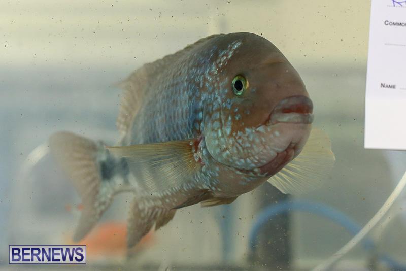 Bermuda-Fry-Angle-Aquarium-Society-Annual-Tropical-Fish-Show-November-5-2016-33