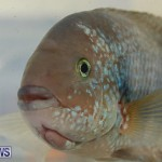 Bermuda Fry-Angle Aquarium Society Annual Tropical Fish Show, November 5 2016-35