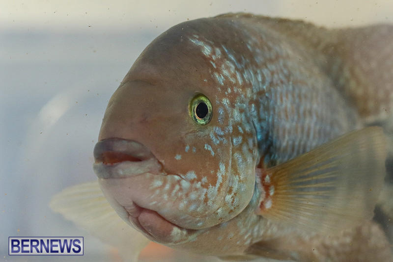 Bermuda-Fry-Angle-Aquarium-Society-Annual-Tropical-Fish-Show-November-5-2016-35