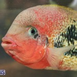 Bermuda Fry-Angle Aquarium Society Annual Tropical Fish Show, November 5 2016-44