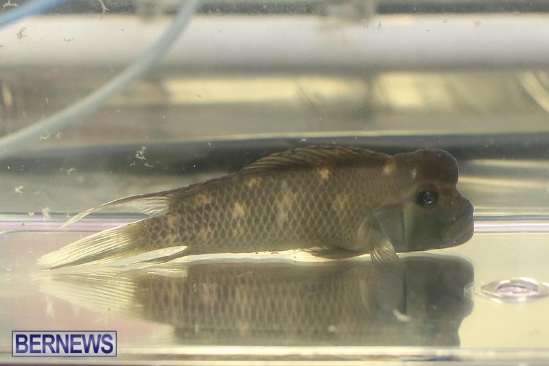 Bermuda-Fry-Angle-Aquarium-Society-Annual-Tropical-Fish-Show-November-5-2016-45