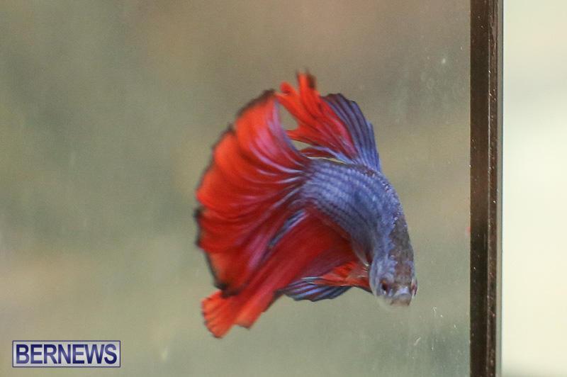 Bermuda-Fry-Angle-Aquarium-Society-Annual-Tropical-Fish-Show-November-5-2016-51