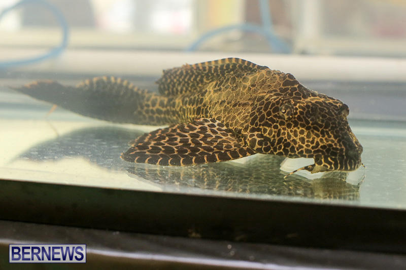 Bermuda-Fry-Angle-Aquarium-Society-Annual-Tropical-Fish-Show-November-5-2016-56