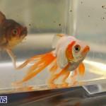 Bermuda Fry-Angle Aquarium Society Annual Tropical Fish Show, November 5 2016-58