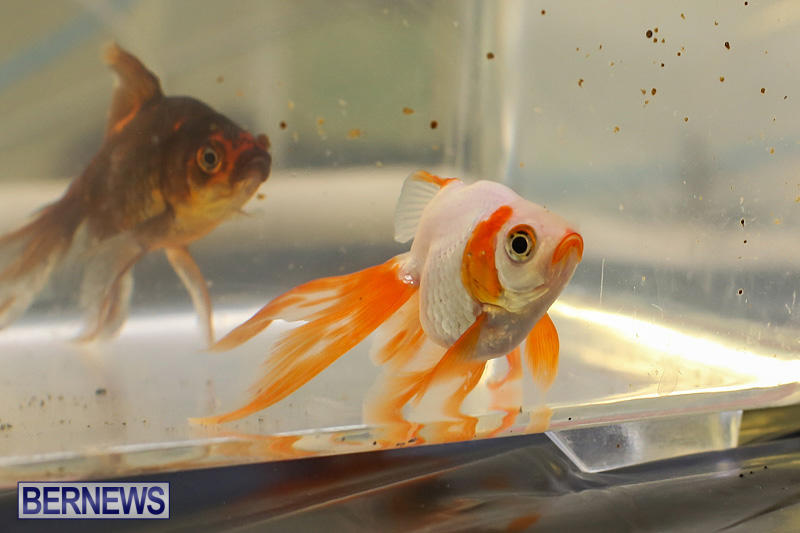 Bermuda-Fry-Angle-Aquarium-Society-Annual-Tropical-Fish-Show-November-5-2016-58