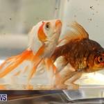 Bermuda Fry-Angle Aquarium Society Annual Tropical Fish Show, November 5 2016-59