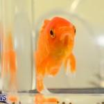 Bermuda Fry-Angle Aquarium Society Annual Tropical Fish Show, November 5 2016-62