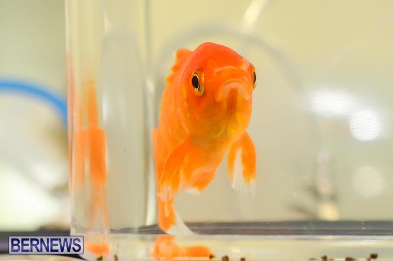 Bermuda-Fry-Angle-Aquarium-Society-Annual-Tropical-Fish-Show-November-5-2016-62