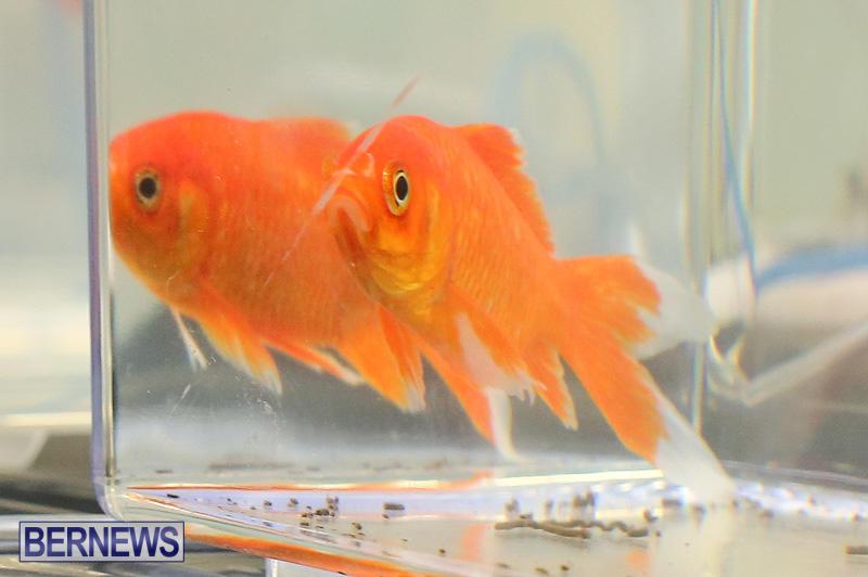 Bermuda-Fry-Angle-Aquarium-Society-Annual-Tropical-Fish-Show-November-5-2016-63