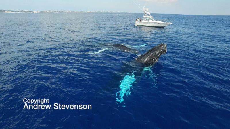 Humpback Whales Bermuda December 2016