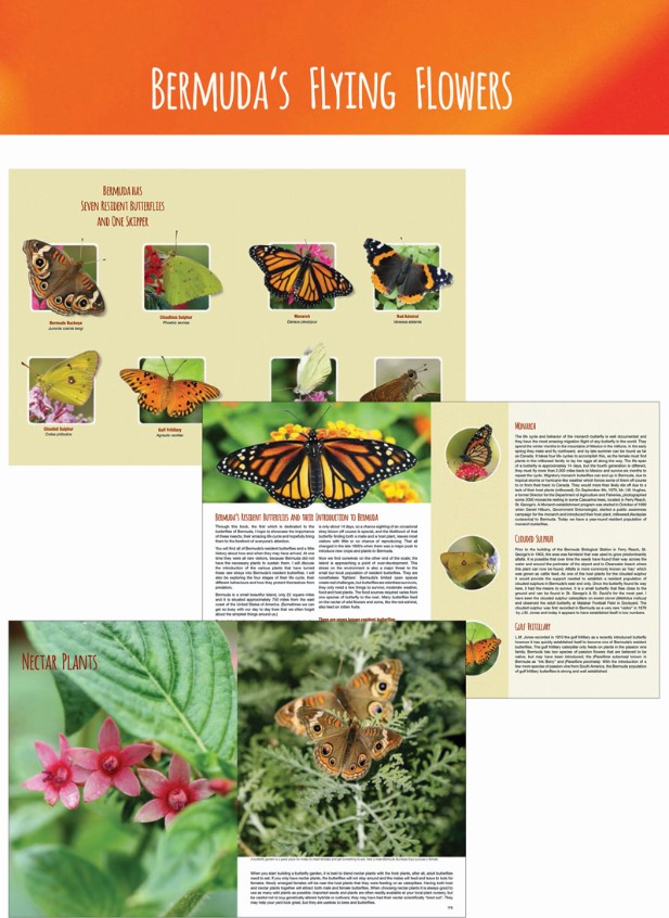 Bermuda's butterflies February 2017 (3)