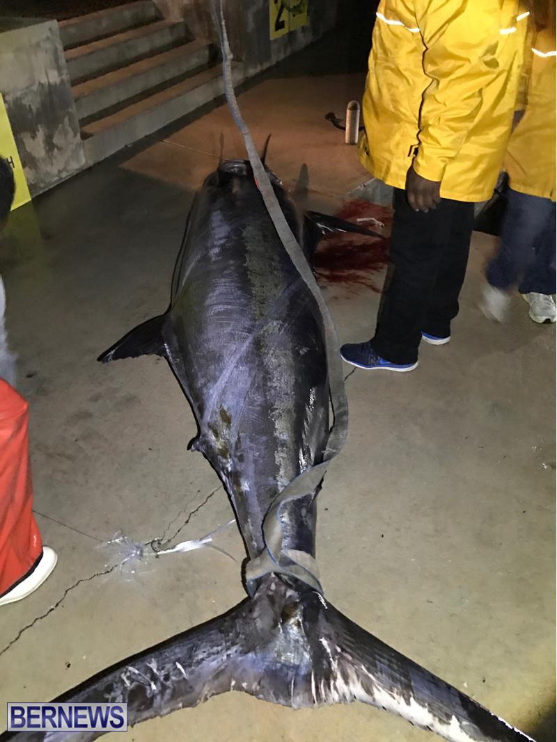 large fish bermuda 2017 (4)