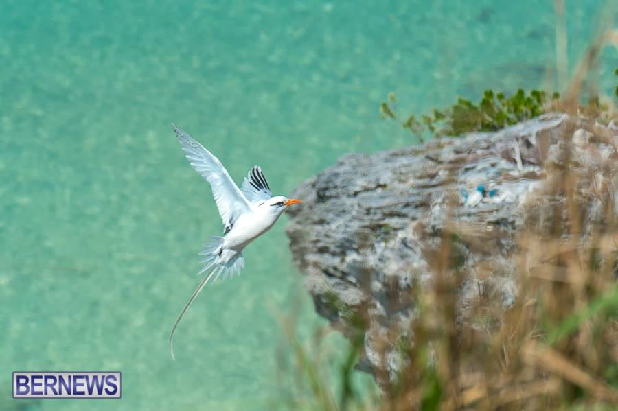 447 And they are back! Longtails all around Bermuda