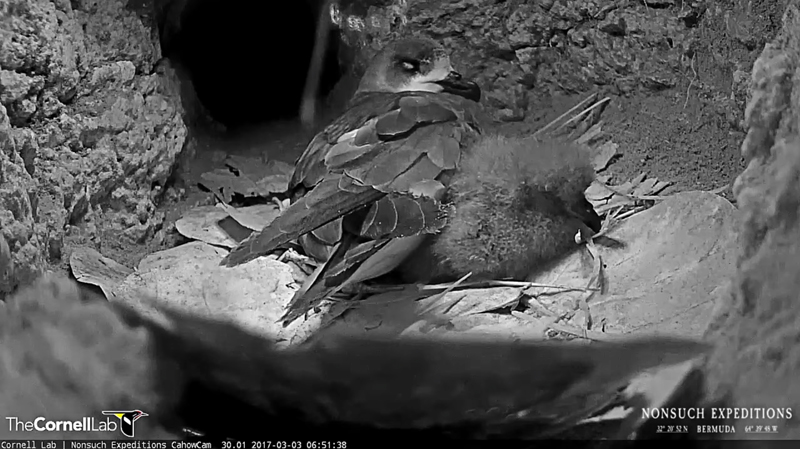 Cahow Chick Bermuda March 2017 (2)