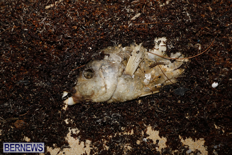 Dead-fish-St-Georges-Bermuda-Sept-15-2017-37