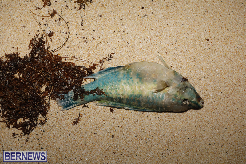 Dead-fish-St-Georges-Bermuda-Sept-15-2017-40