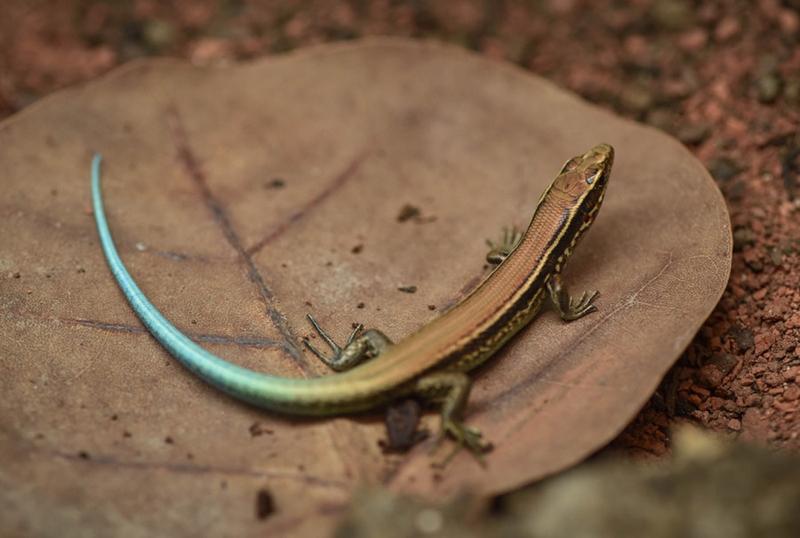 World First Rare Rock Lizards Hatch (3)