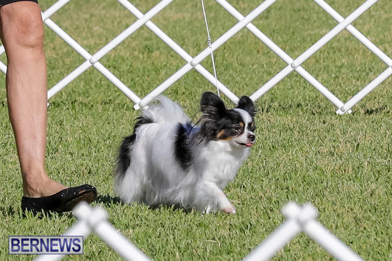 International-Dog-Show-Bermuda-October-21-2017_8099