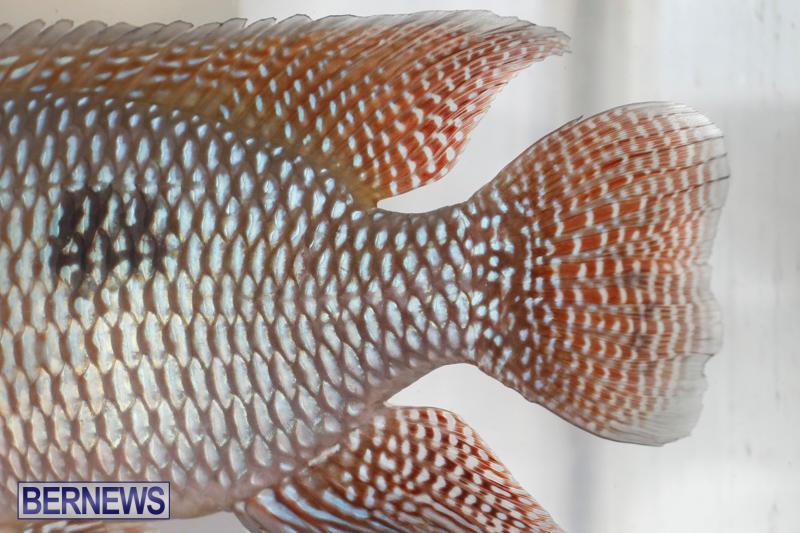 Tropical-Fish-Show-Bermuda-November-11-2017_6112