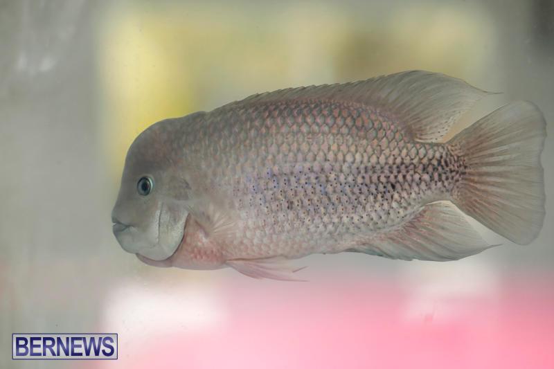 Tropical-Fish-Show-Bermuda-November-11-2017_6132