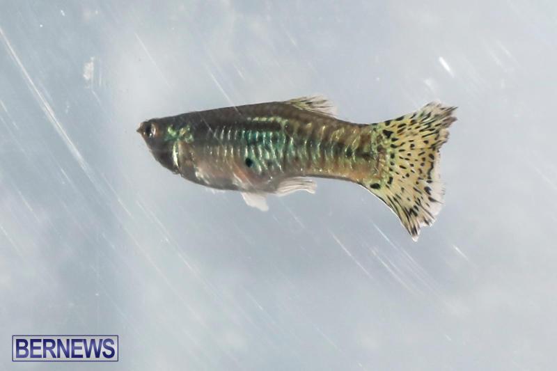 Tropical-Fish-Show-Bermuda-November-11-2017_6204