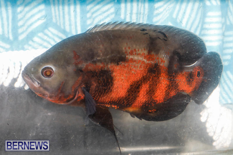Tropical-Fish-Show-Bermuda-November-11-2017_6247