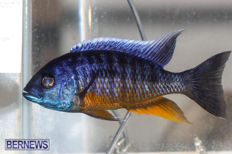 Tropical-Fish-Show-Bermuda-November-11-2017_6267