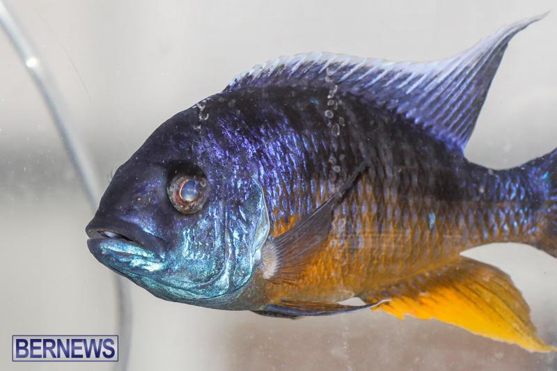 Tropical-Fish-Show-Bermuda-November-11-2017_6271