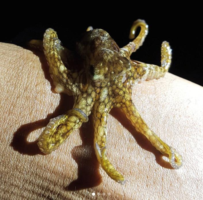 Octopus Bermuda January 2018 (1)