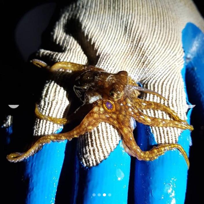 Octopus Bermuda January 2018 (3)