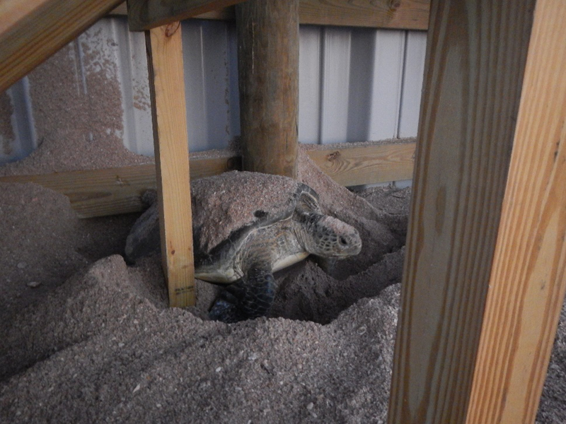 Green turtle stuck between the supports of a sand dune walkover