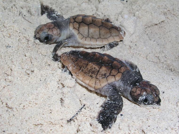 Loggerhead hatchlings on Coopers Island beach