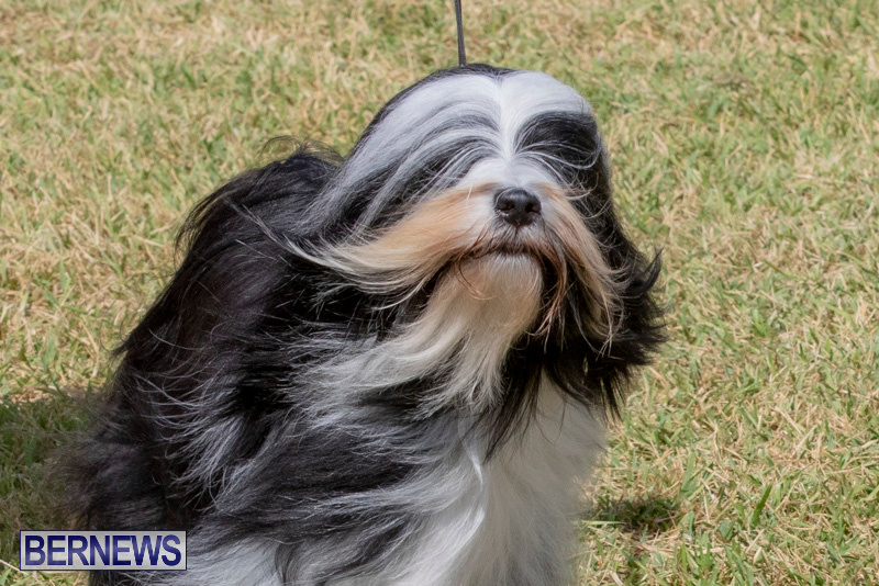 Devils-Isle-All-Breed-Clubs-Bermuda-International-Championship-Dog-Show-October-20-2018-8085