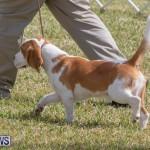 Devil's Isle All Breed Club's Bermuda International Championship Dog Show, October 20 2018-8096