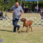 Devil's Isle All Breed Club's Bermuda International Championship Dog Show, October 20 2018-8105
