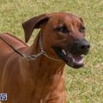 Devil's Isle All Breed Club's Bermuda International Championship Dog Show, October 20 2018-8118