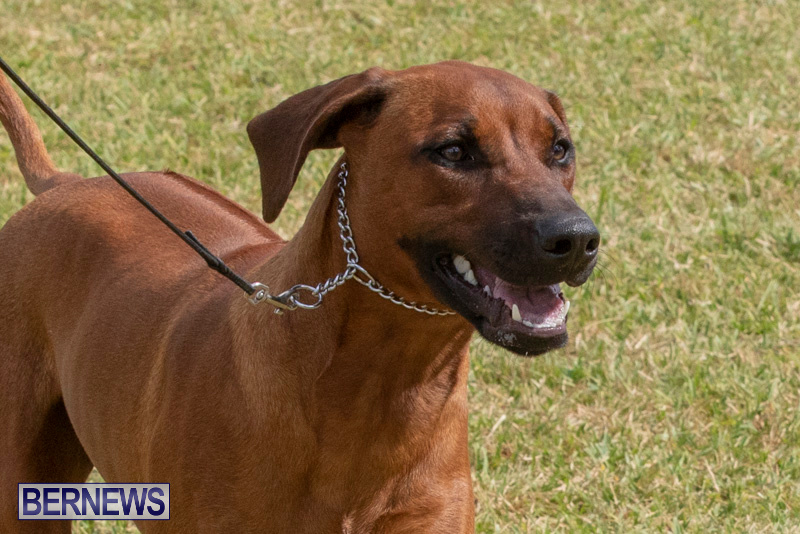 Devils-Isle-All-Breed-Clubs-Bermuda-International-Championship-Dog-Show-October-20-2018-8118