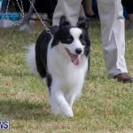 Devil's Isle All Breed Club's Bermuda International Championship Dog Show, October 20 2018-8151